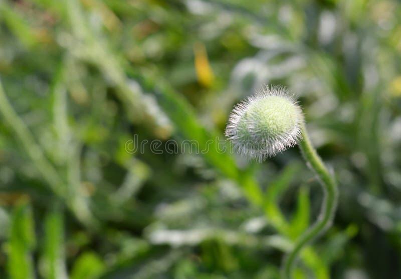 Зеленая предпосылка зеленой травы цветка щенка бутона стоковые изображения