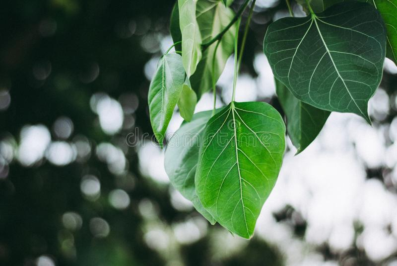 Зеленая предпосылка конца вверх выходит висеть вниз от своей ветви стоковые изображения rf