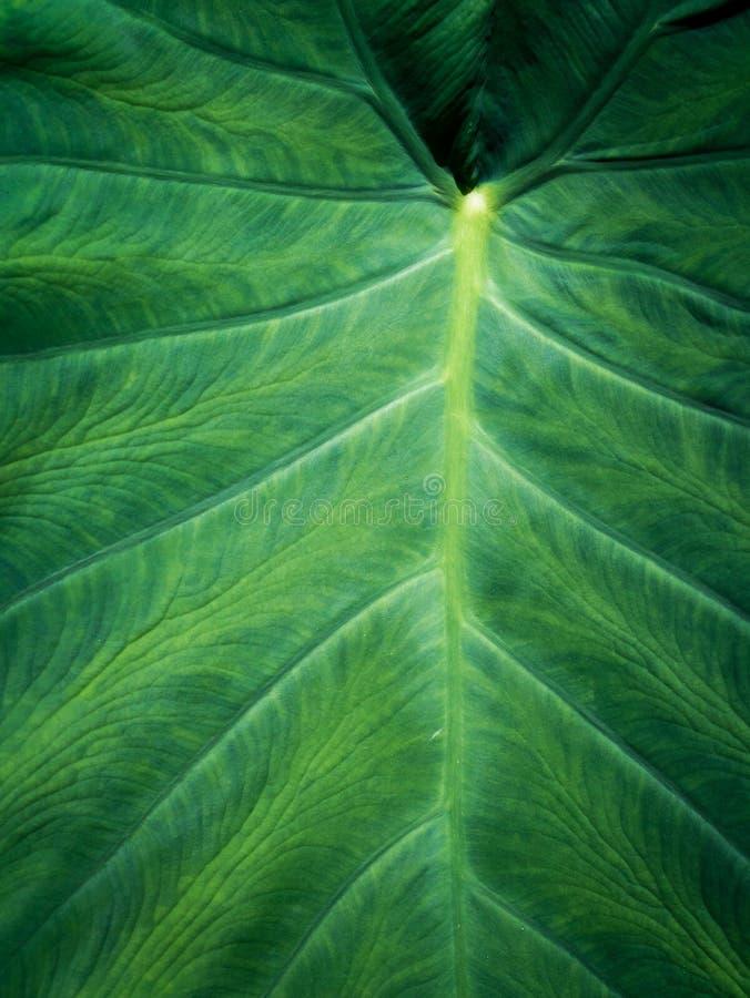Зеленая предпосылка листьев уха слона стоковое изображение