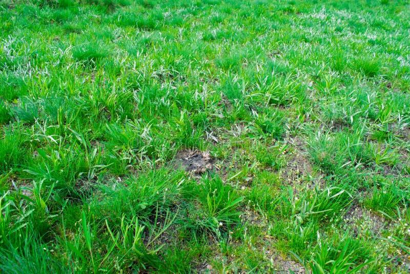 Зеленая предпосылка, серии травы с малыми листьями, как лужайка Бирюза и желтые wheatgrass стоковая фотография rf