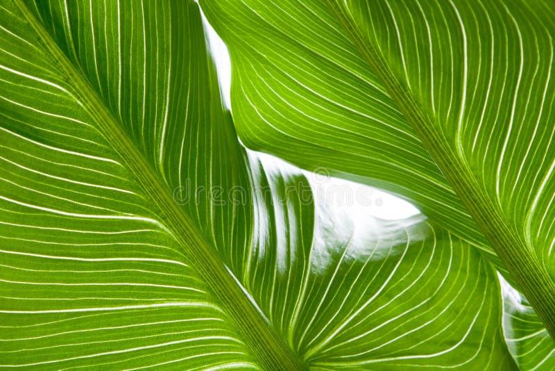 Зеленая предпосылка текстуры лист со светом позади Сравнивая яркие диапазоны стоковые изображения