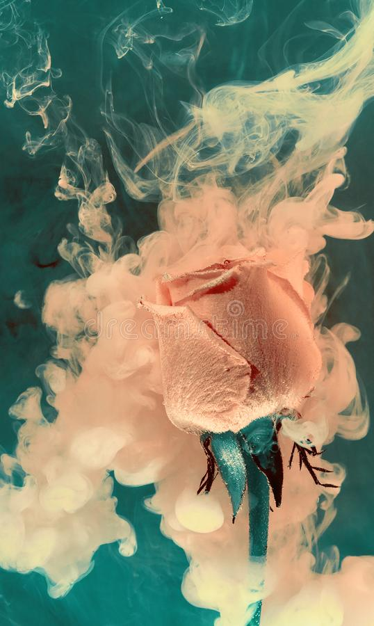 Зеленая розовая роза внутри цвета предпосылки воды краски чернил краски белого акриловой подводной под весной дыма горячей стоковые фото