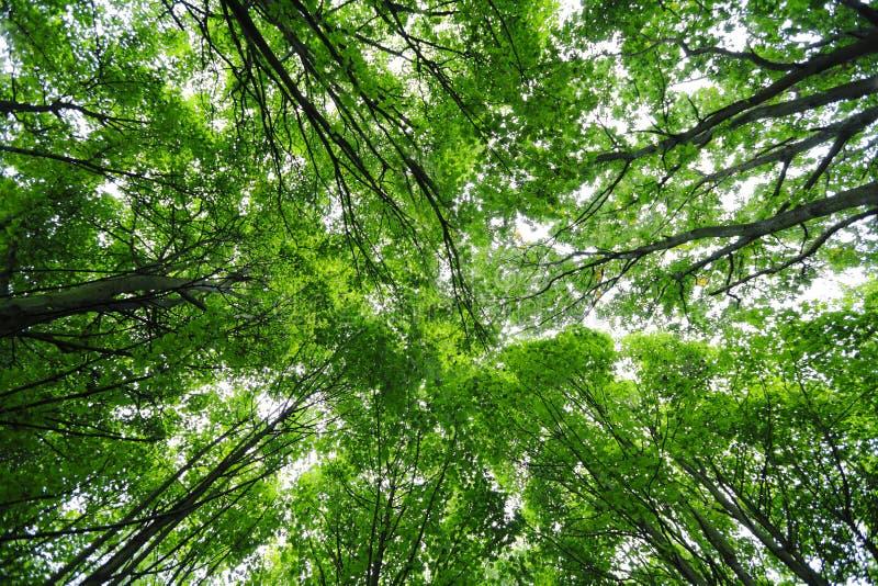 Зеленая сень деревьев стоковые изображения rf