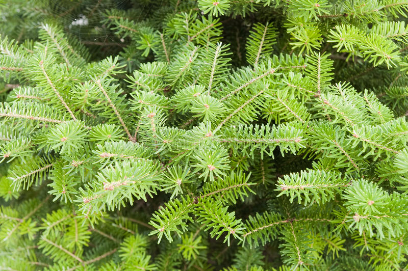 зеленая сосенка стоковое изображение rf