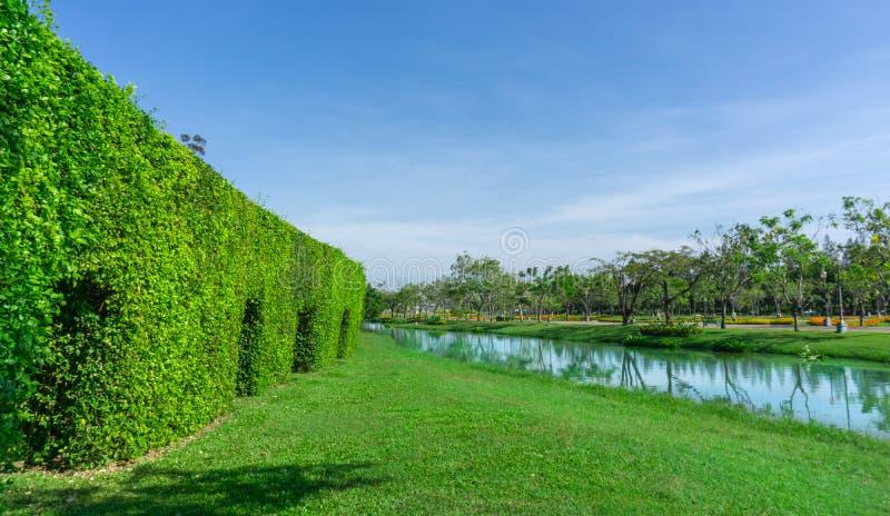 Зеленая стена дерева зубной щетки на ровной лужайке зеленой травы около озера и группы в составе деревья под ясным голубым небом стоковая фотография
