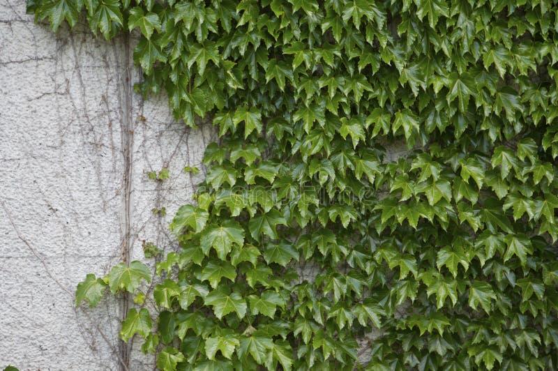 зеленая стена плюща стоковое фото