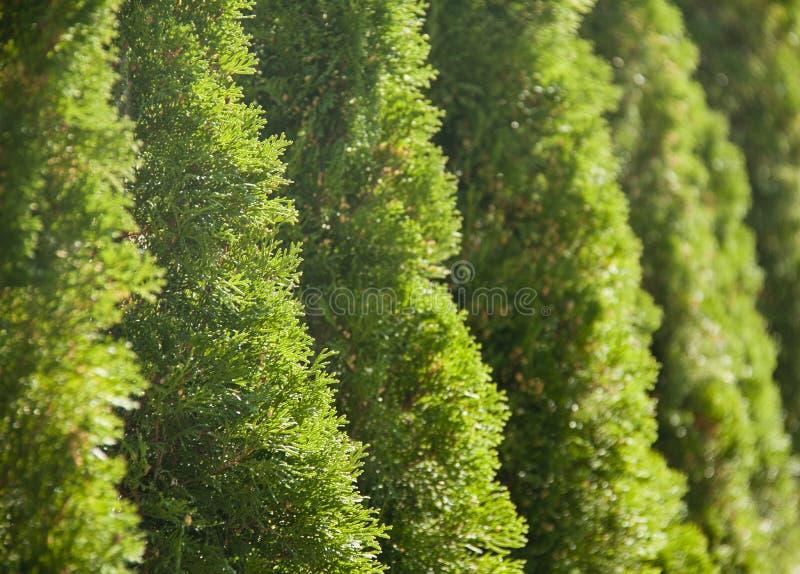Зеленая строка весны thujas как предпосылка стоковая фотография