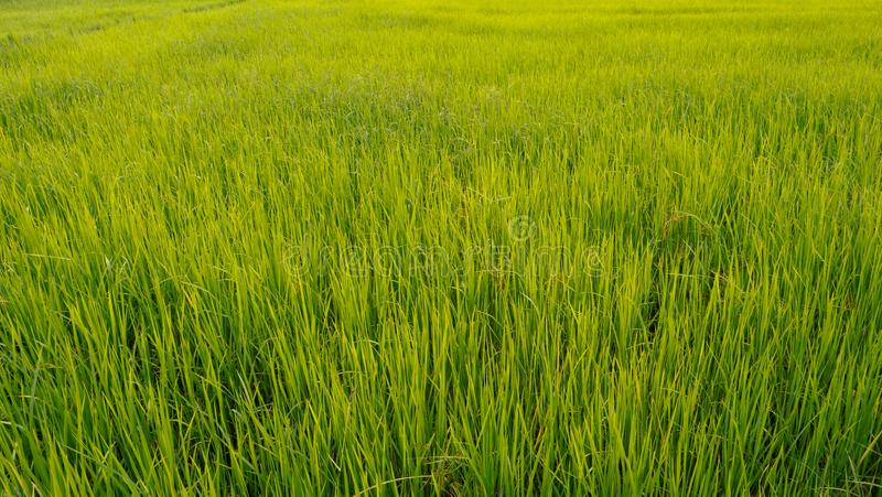 Зеленая текстура предпосылки рисовой посадки стоковые фотографии rf