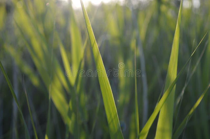 Зеленая трава на солнечности Jurmala Латвии стоковая фотография rf