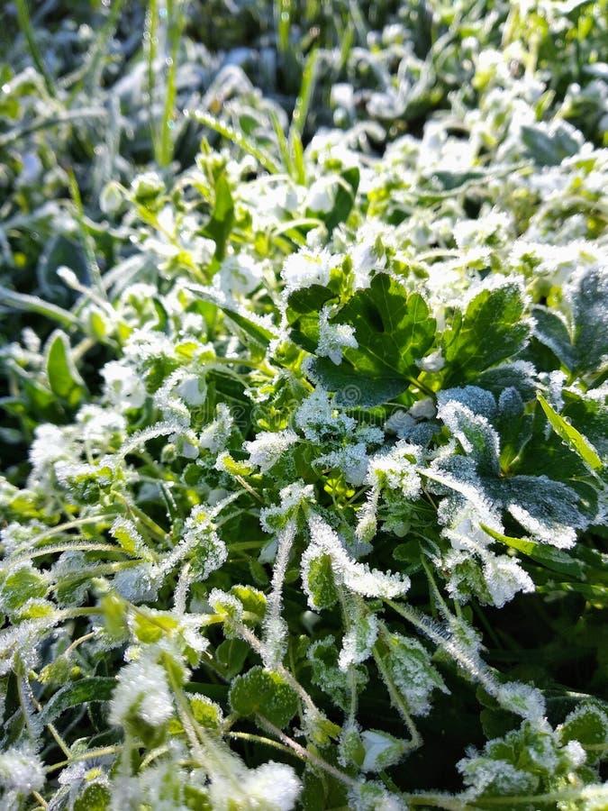 зеленая трава предусматриванная с морозным белым заморозком кристаллических и раннего утра стоковая фотография
