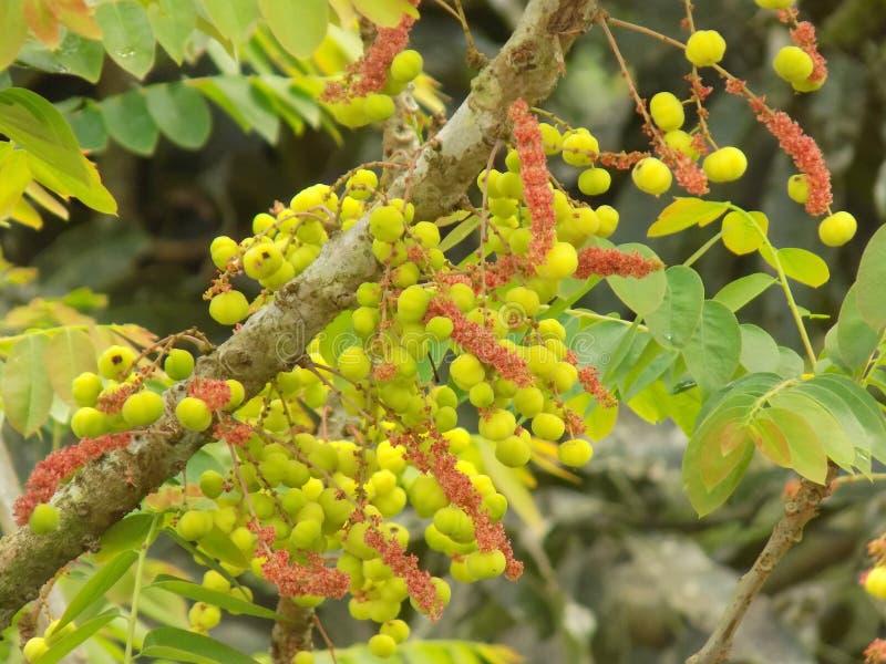 Зеленая фотография Leora плодоовощ стоковое фото