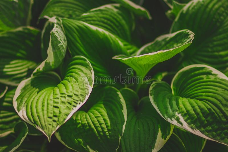 Зеленая хоста куста Фоновое изображение природы стоковое фото rf