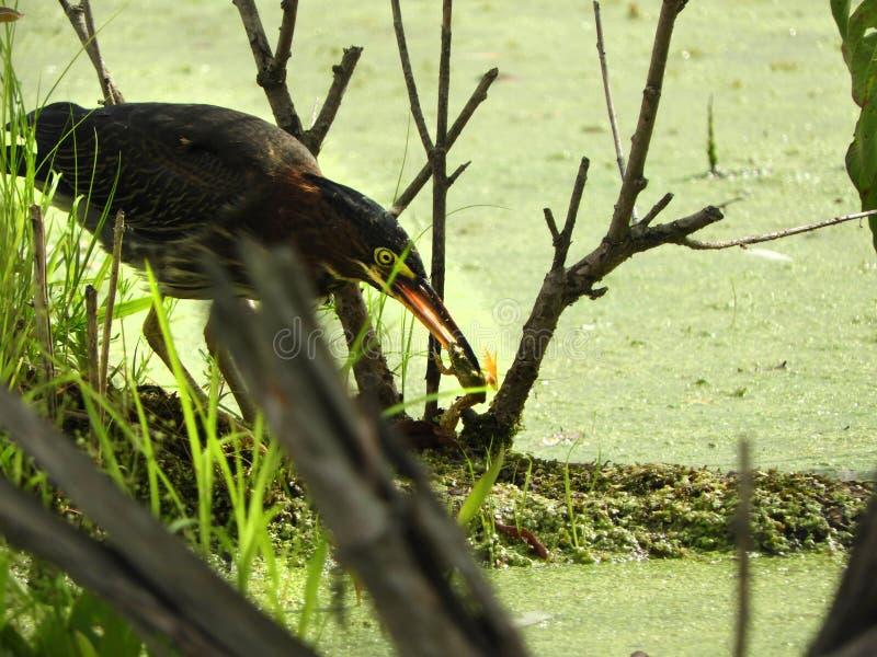 Зеленая цапля улавливает неподозревающую лягушку для обедающего стоковые фотографии rf
