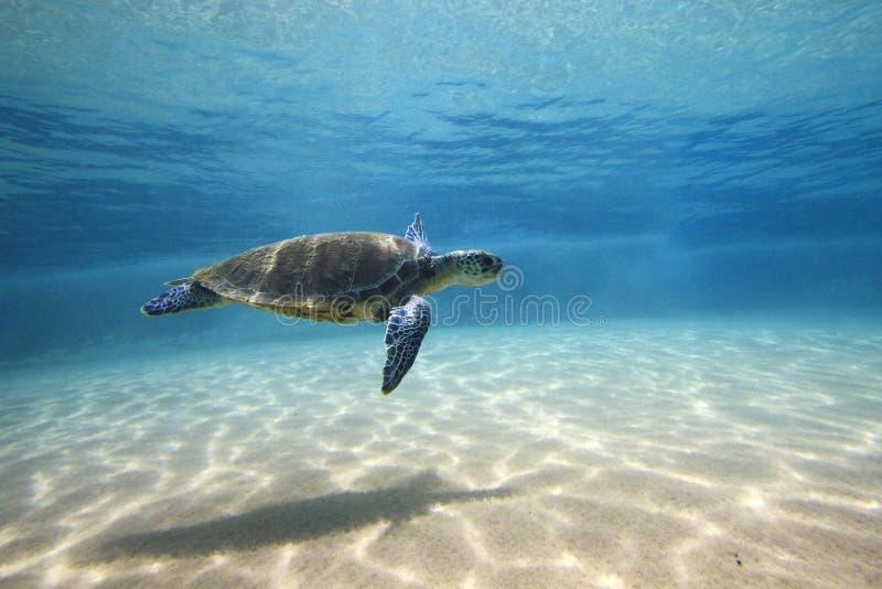 зеленая черепаха стоковая фотография rf