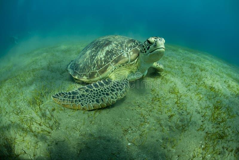 зеленая черепаха стоковые фотографии rf
