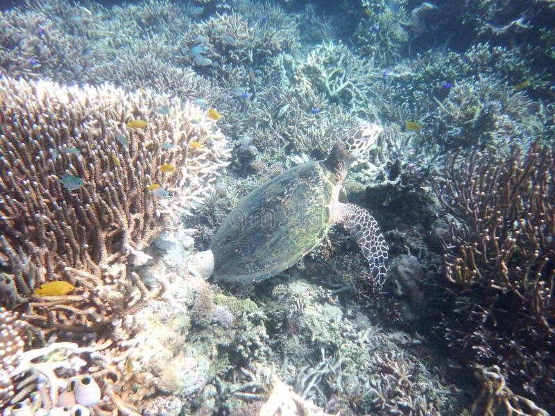 Зеленая черепаха Komodo стоковое изображение rf