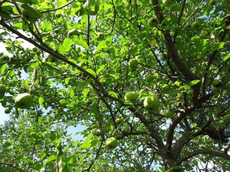 Зеленая яблоня в июле летом стоковая фотография rf