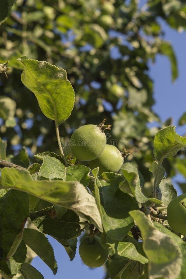 Зеленая яблоня пересекая с синевами неба стоковое изображение