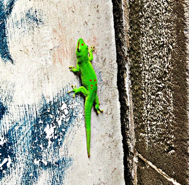 Зеленая ящерица в ботаническом саде, остров Маврикия стоковые изображения