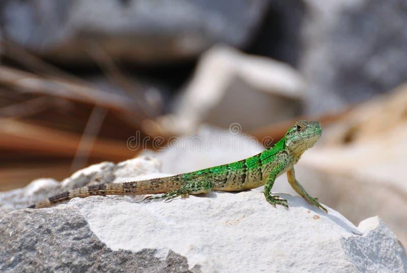 зеленая ящерица Мексика стоковая фотография