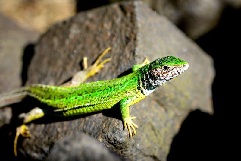 Зеленая ящерица на камне в национальном парке стоковое фото rf