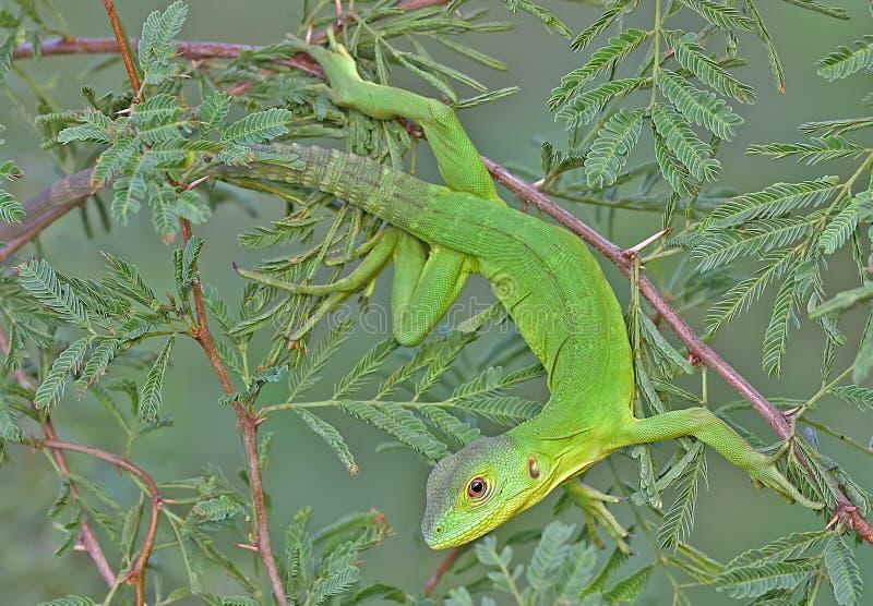 Зеленая ящерица стоковые изображения