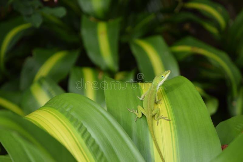Зеленая ящерица Anole на зеленых и желтых лист стоковая фотография