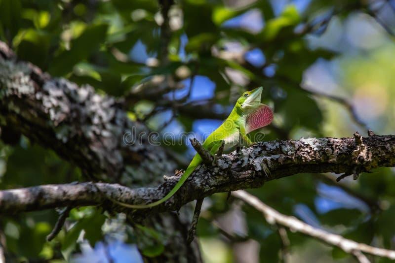 Зеленая ящерица anole отдыхая на ветви дерева стоковые фотографии rf