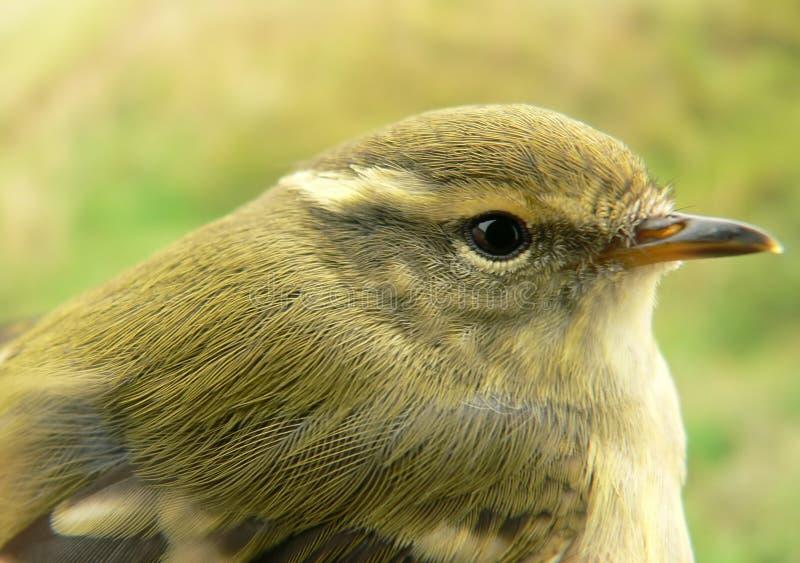 зеленоватый warbler стоковая фотография