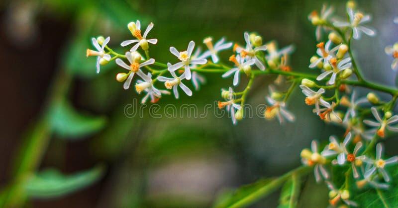 Зеленого цвета дерева цветения neem сезона цветка белизна флористическ стоковое фото