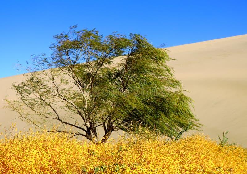 Зеленое дерево вербы и желтые тростники в пустыне стоковые фотографии rf
