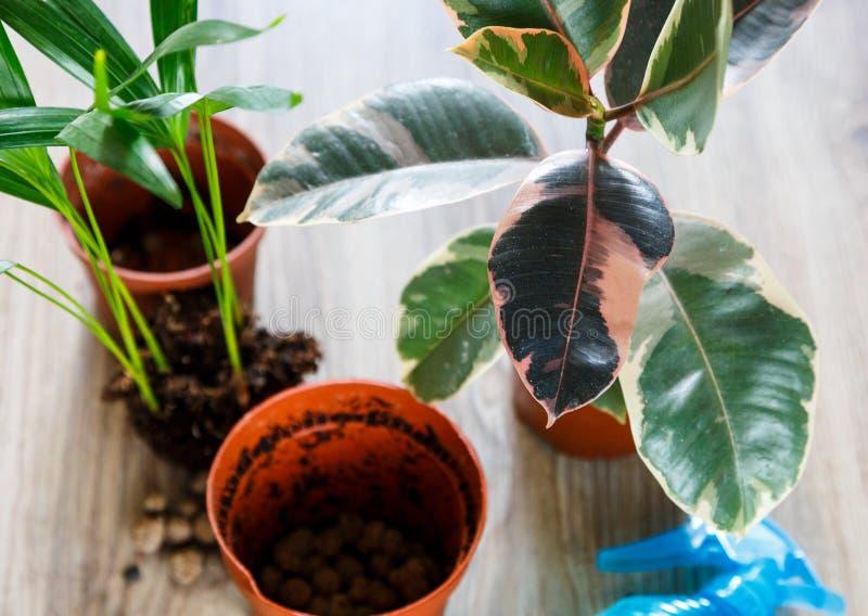 Зеленое дерево фикуса с большими яркими листьями в баке после repotting рядом с другими заводами на таблице Зеленые домашние цвет стоковое изображение