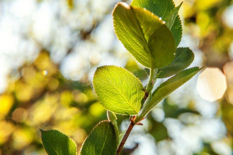 Зеленое зарево лист в солнце на весне растительности или предпосылке лета в саде или парке стоковая фотография rf
