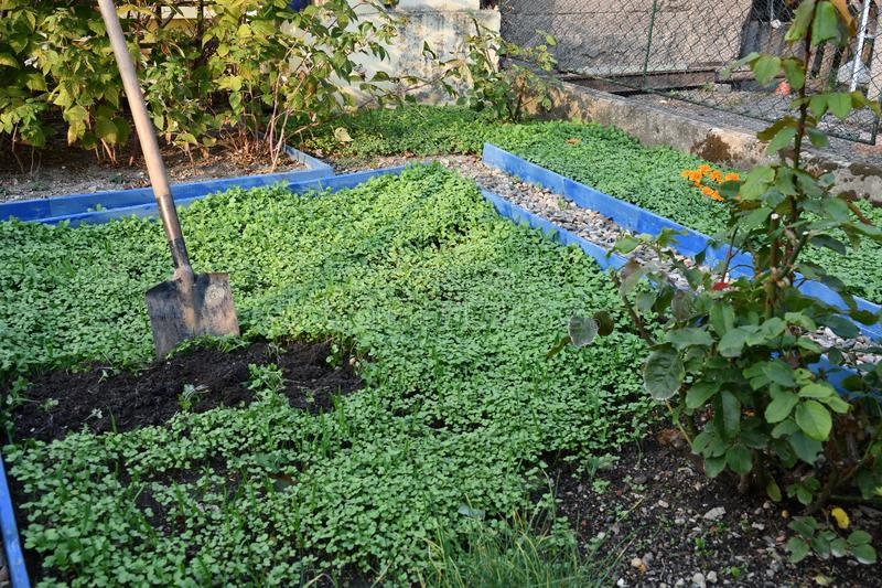 Зеленое землеудобрение в саде стоковые изображения rf