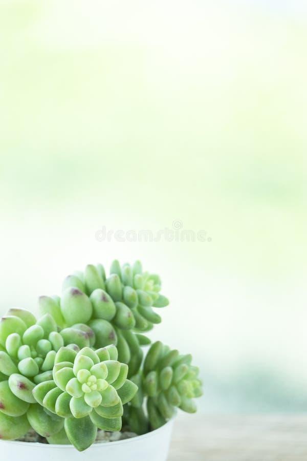 Зеленое комнатное растение Echeveria суккулентное стоковое изображение rf