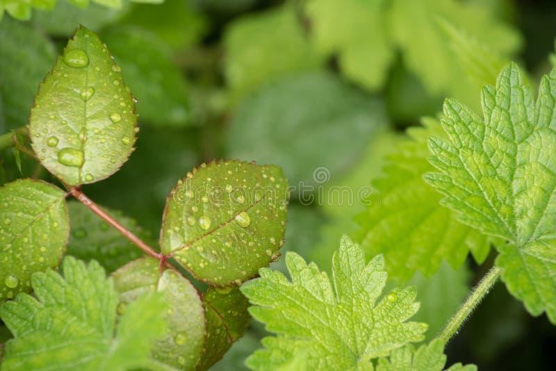 Зеленое красивое подняло листья и другие заводы в капельках воды от дождя в саде стоковое изображение rf