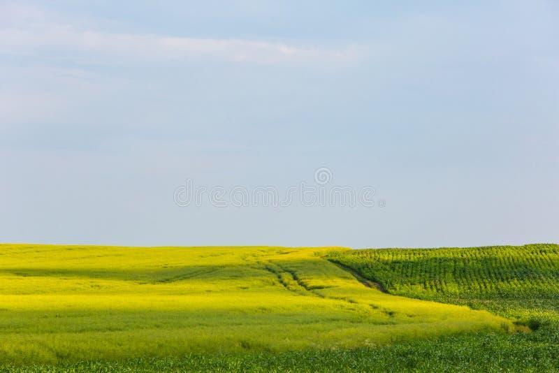 Зеленое кукурузное поле и желтый луг рапса Обрабатывать землю ландшафт r стоковая фотография