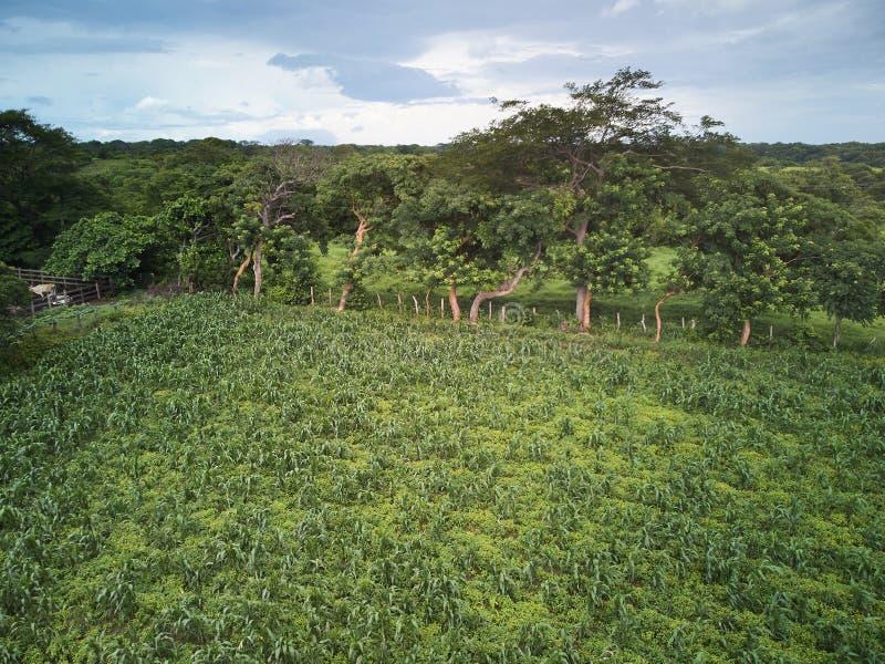 Зеленое кукурузное поле на ферме стоковые изображения