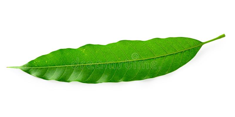 Зеленое манго выходит изолированный на белую предпосылку стоковая фотография