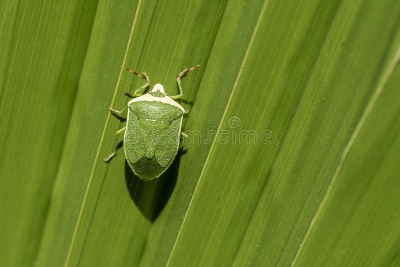 Зеленое насекомое на зеленых больших лист стоковые фото