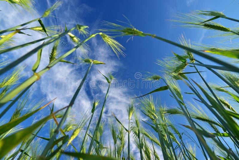 Зеленое небо заводов пшеницы стоковая фотография