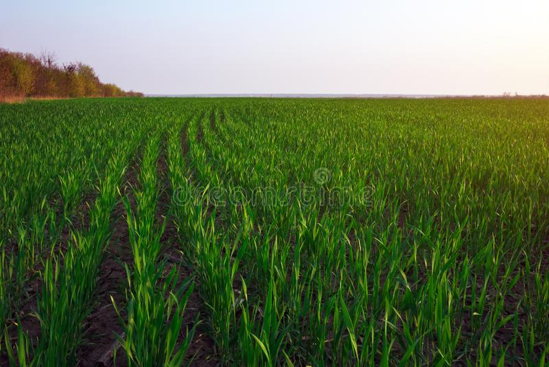 Зеленое поле во время захода солнца стоковое фото