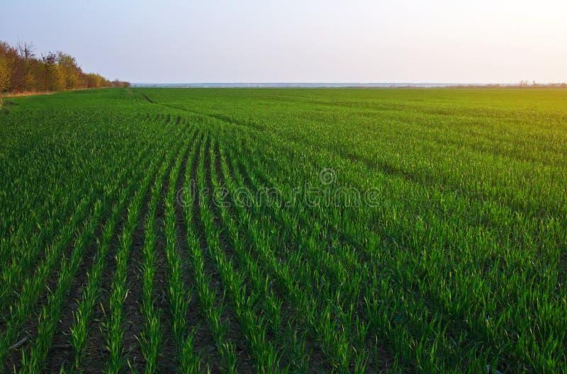 Зеленое поле во время захода солнца стоковое изображение rf