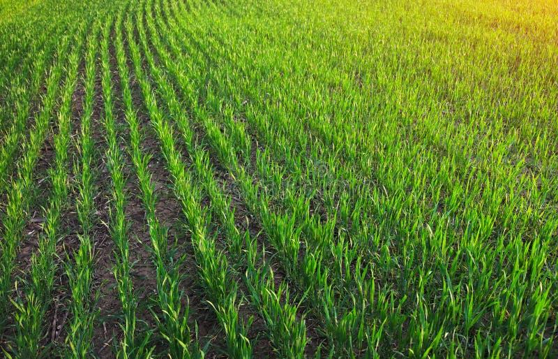Зеленое поле во время захода солнца стоковые изображения