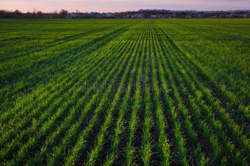 Зеленое поле во время захода солнца стоковые фотографии rf