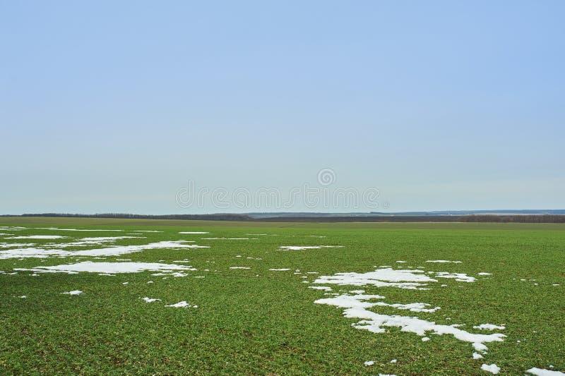 Сельский ландшафт Зеленое поле озимой пшеницы с майнами снега Весна в Украине стоковые изображения