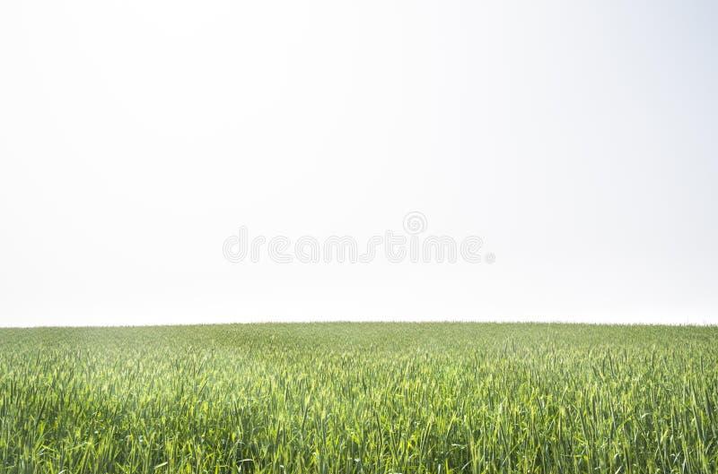 Зеленое поле риса с белой предпосылкой неба стоковые изображения