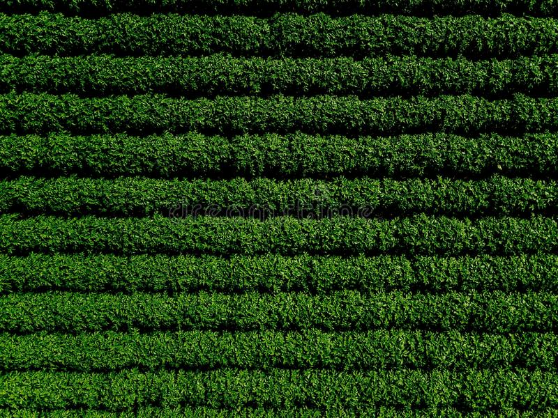Зеленое поле страны картошки с строкой выравнивается, взгляд сверху, воздушное фото стоковые изображения rf
