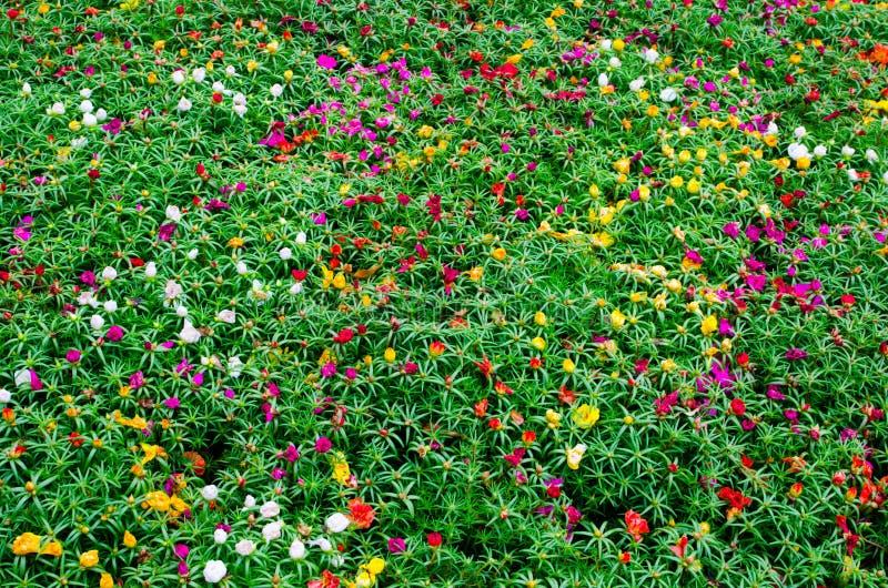 Зеленое поле с малыми красочными цветками на ботаническом саде для предпосылки стоковое изображение rf