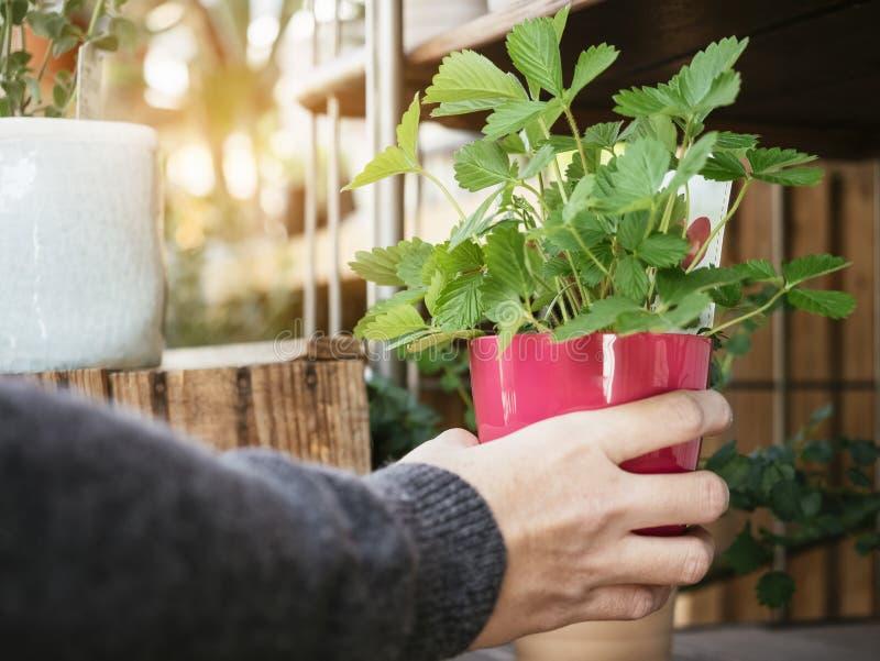 Зеленое растение в красном баке при рука держа домой садовничать стоковое фото